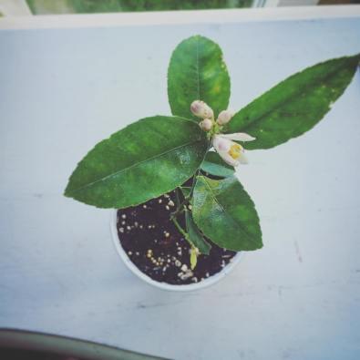 lemonplant